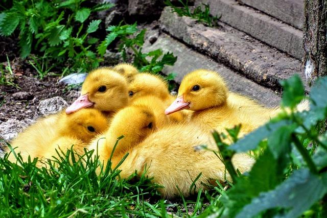 Ducklings, Duck, Cub, Duckling, Spinning Top, Animal