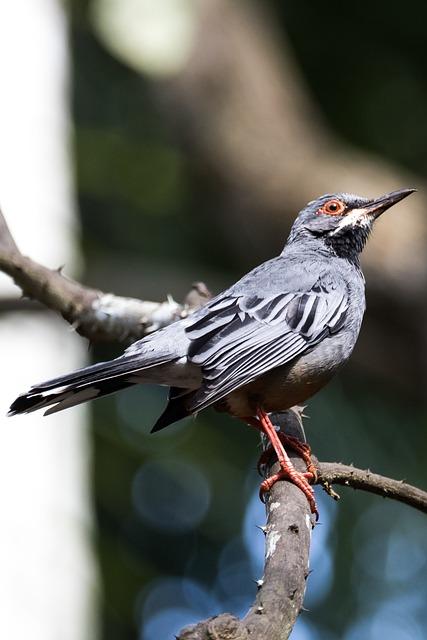 Cuba, Havana, Zorzal Real, Bird, Birding, Wildlife