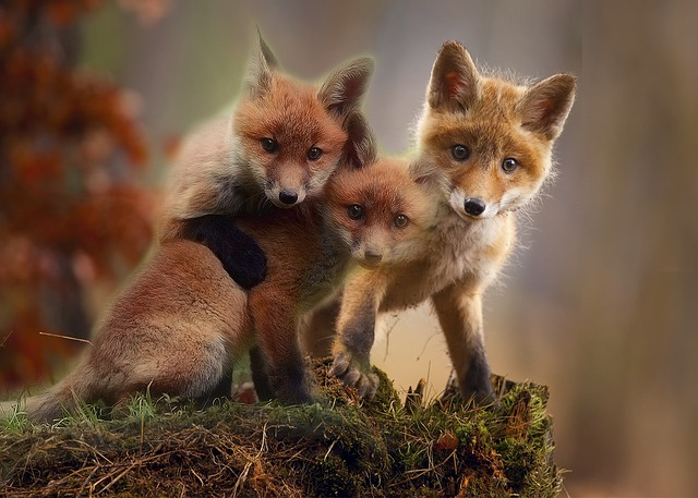 Fox, Cubs, Cute, Red Fox, Young, Wildlife, Nature