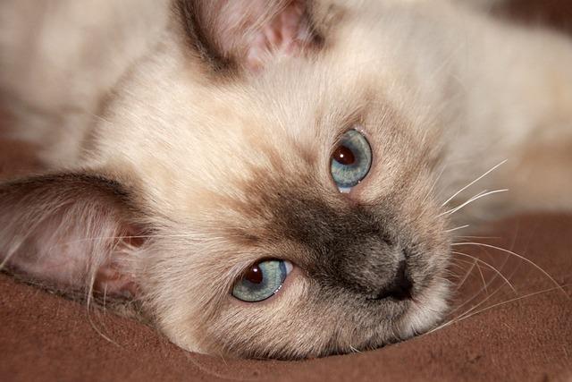 Ragdoll, Blue Eye, Eye, Cat, Kitten, Cuddly, Dreams