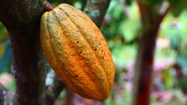 Cocoa, Cultivation, Fruit, Harvest, Colombia
