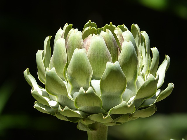 Artichoke, Vegetable, Green, Plant, Cultivation