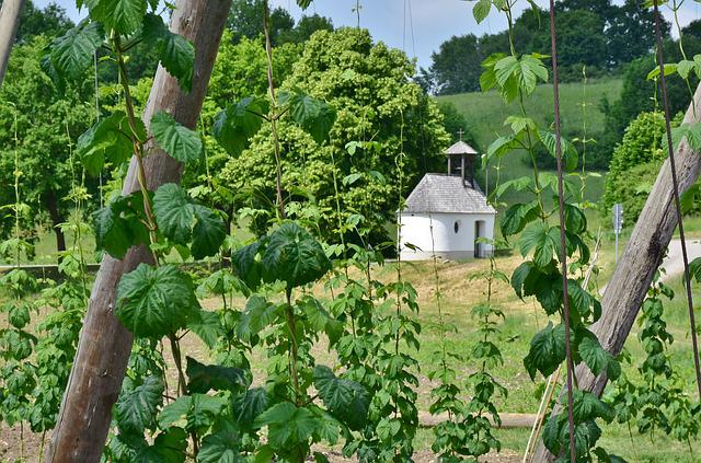 Hops, Cultivation, Wachsbau, Bavaria, Climber, Plant
