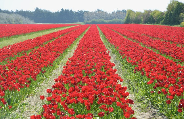 Tulips, Culture Of Tulips, Flowers