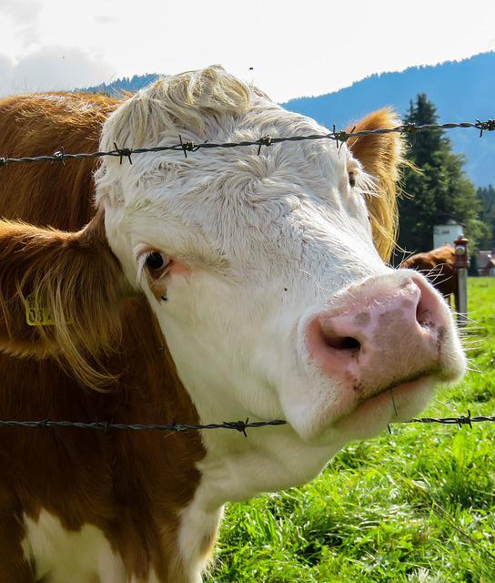 Cow, Pasture, Barbed Wire, Curiosity, Beef, Close Up