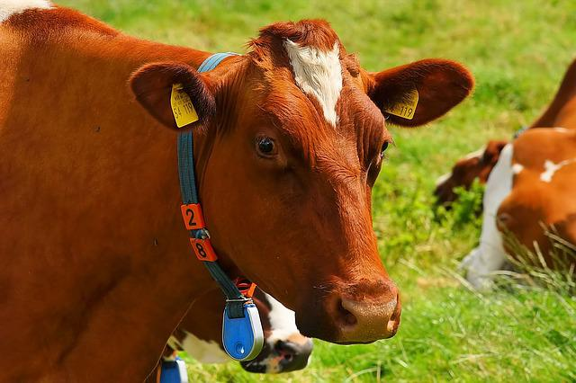 Cow, Red Orange, Pasture, Curious, Animal, Attention