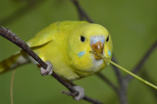 Budgie, Curious, Eat
