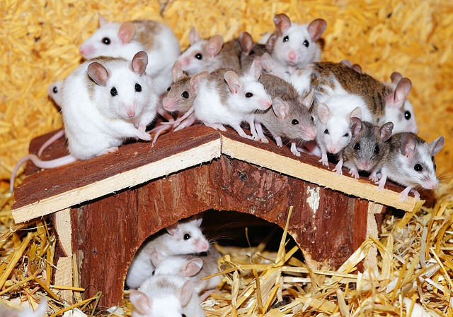 Mastomys, Mice, Home, Wood, Roof, Curious, Sweet