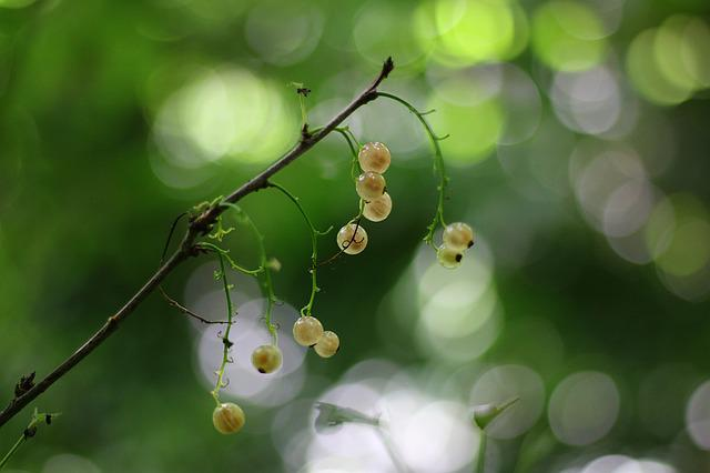 Currants, White, Fruit, Nature, Shrub