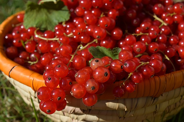 Currants, Basket, Fruits, Fruit, Harvest, Red, Berries