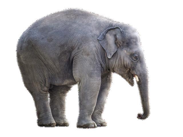 Elephant, White Background, Isolated, Cut Out, Giant