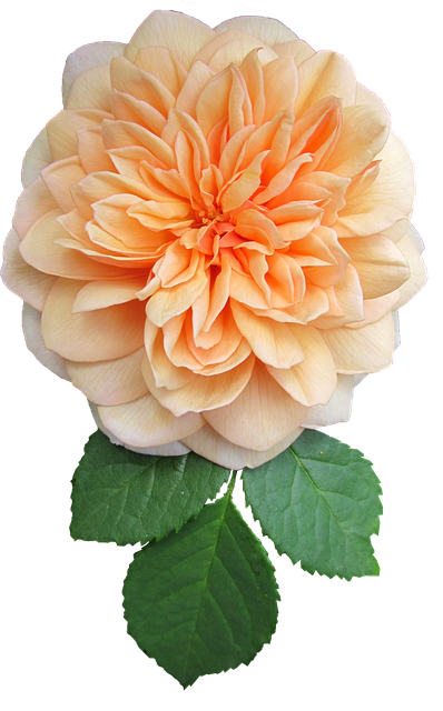 Orange, Flower, Rose, Cut Out