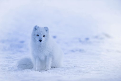 Iceland, Arctic Fox, Animal, Wildlife, Cute, Winter