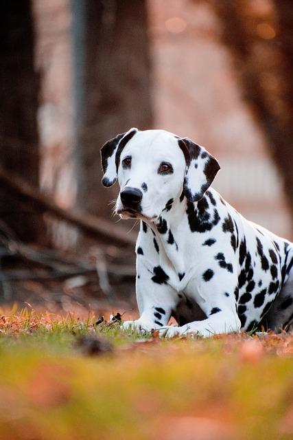 Dog, Cute, Animal, Portrait, Mammal, Dalmatians