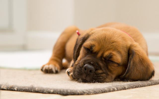 Animal, Cute, Dog, Pet, Puppy, Sleeping