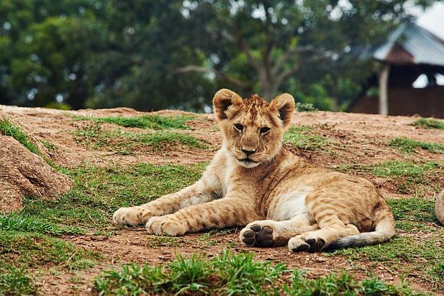 Animal, Big Cat, Cute, Lion, Lion Cub, Nature, Outdoors