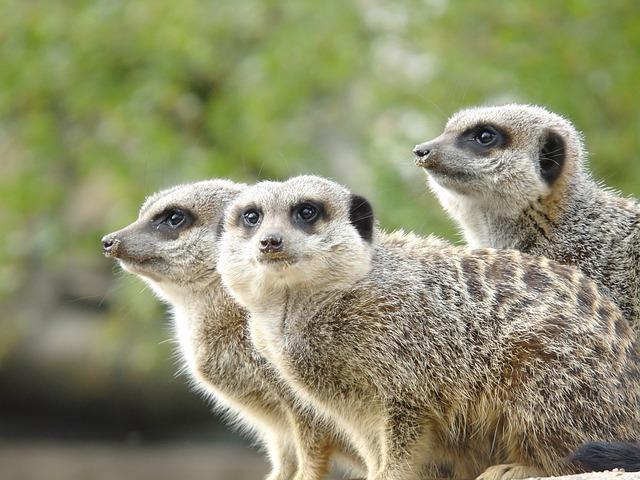 Wildlife, Nature, Cute, Animal, Mammal, Meerkat