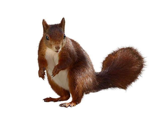 Animal, Squirrel, Isolated, Nager, Croissant, Cute