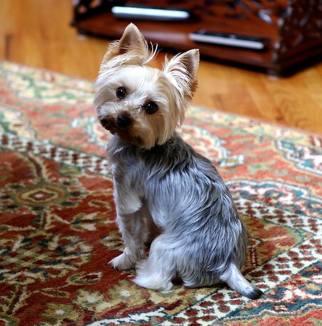 Yorkie, Dog, Cute, Animal, Terrier, Pet, Yorkshire