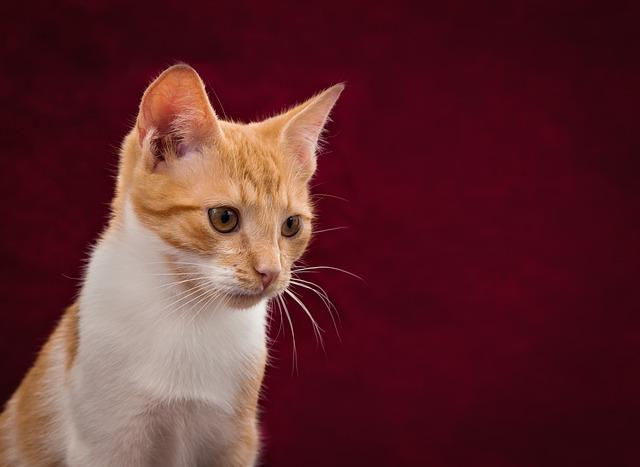 Cat, Background Image, Cute, Red, White, Pet, Kitten