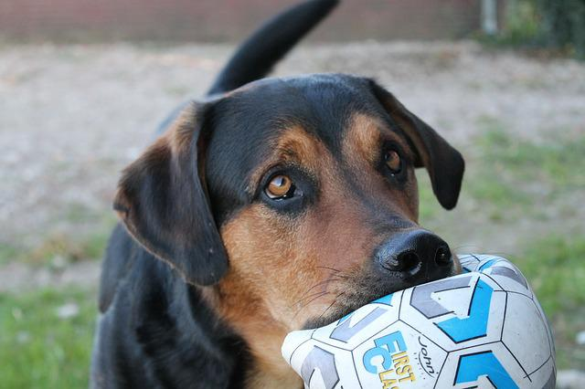 Dog, Asking, Ball, Cute, Pathetic, Modderbloed