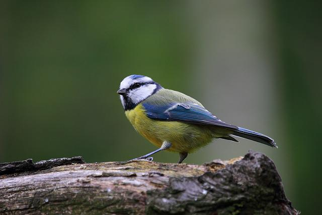 Blue Tit, Bird, Cute, Nature, Cute Animals, Wildlife