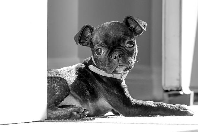 Pug, Boston Terrier, Cute, Puppy, Relaxing, Gray Relax