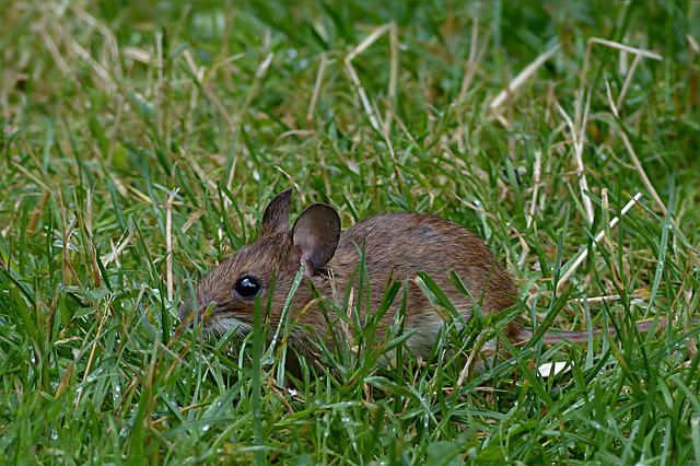 Mouse, Rodent, Mus Musculus, Cute, Button Eyes