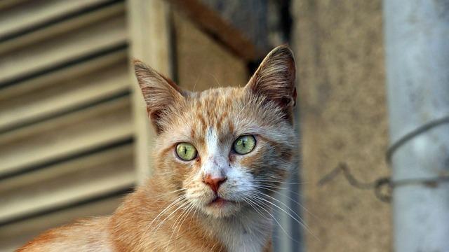 Cat, Animal, Cat's Eye, Cute Cat, Cat's Eyes