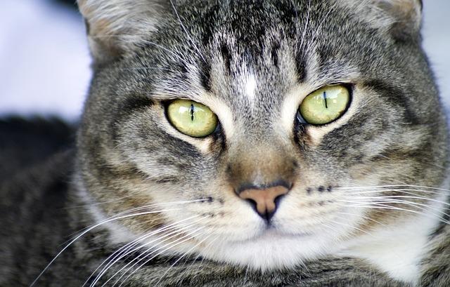 Cat, Cute, Animal, Mammal, Pet, Portrait, Kitten