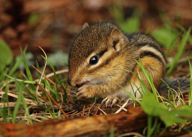 Chipmunk, Cute, Rodent, Wildlife, Baby, Fur, Eating