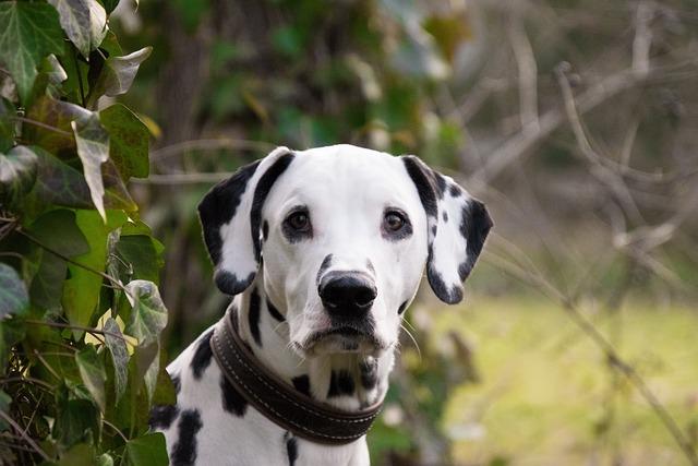 Animal, Mammal, Dog, Cute, Pet, Dalmatians