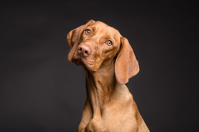 Dog, Cute, My Favorite, Portrait, Purebred