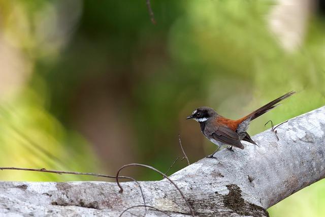 Little Bird, Fallen Trees On The, Cute, Rhipidura
