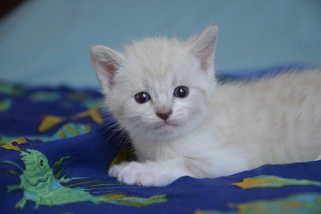 Kitten Cat, Petit, Feline, Cute, Animal, Kitten