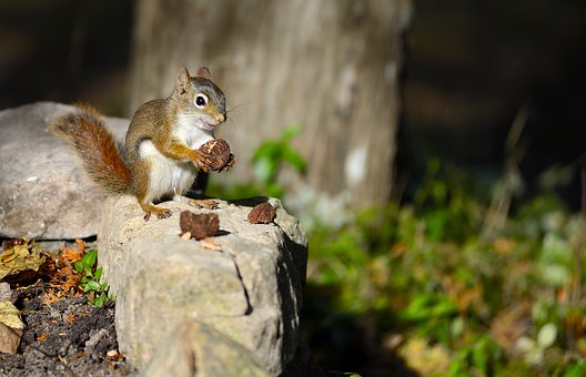 Squirrel, Cute, Nature, Wildlife, Forest, Mammal