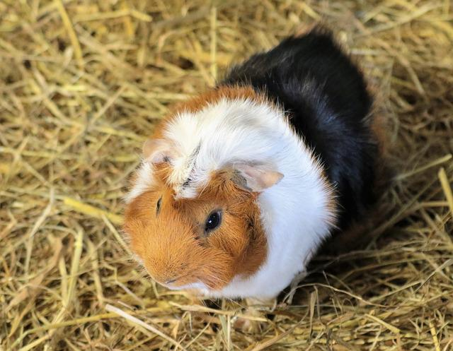 Guinea Pig, Rodent, Animal, Pet, Guinea, Pig, Cute
