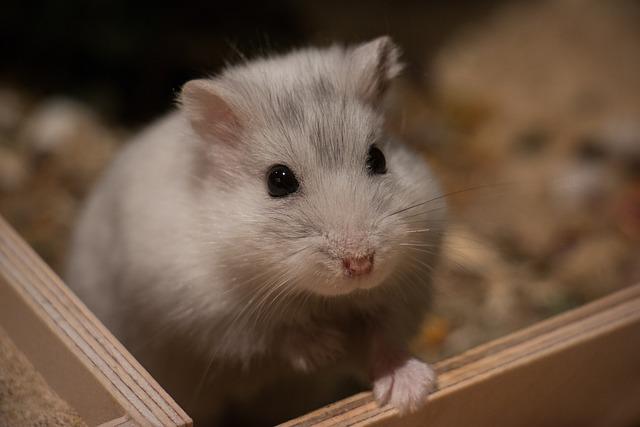 Cute, Small, Mammal, Animal, Hamster, Dwarf Hamster