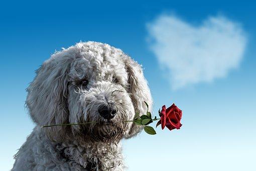 Valentine's Day, Dog, Animal, Cute, Rose, Heart, Love