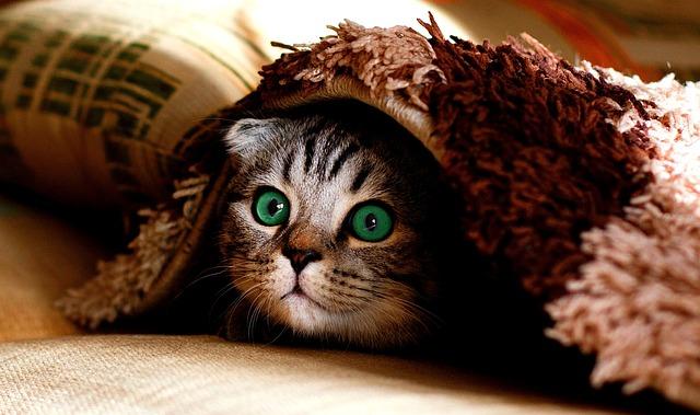 Cat, Blanket, Hide, Cute, Cheeky, Funny