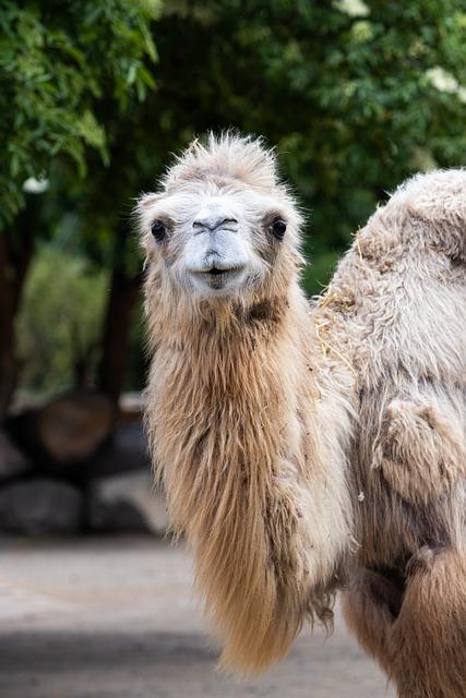 Lama, Zoo, Cute, Nature, Animal World, Small, Fur