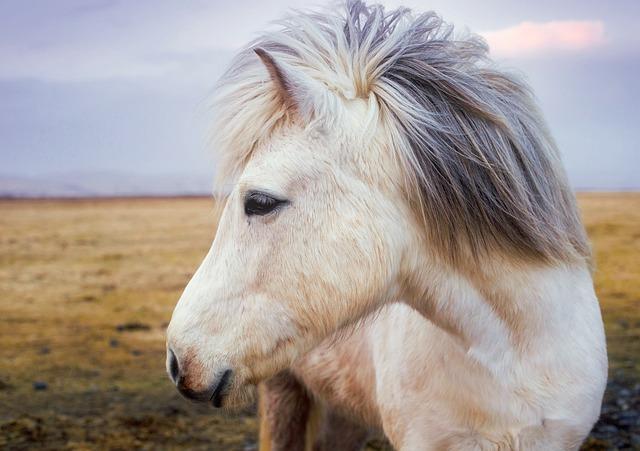 Pony, Horse, Iceland, Animal, Cute, Landscape, Farm