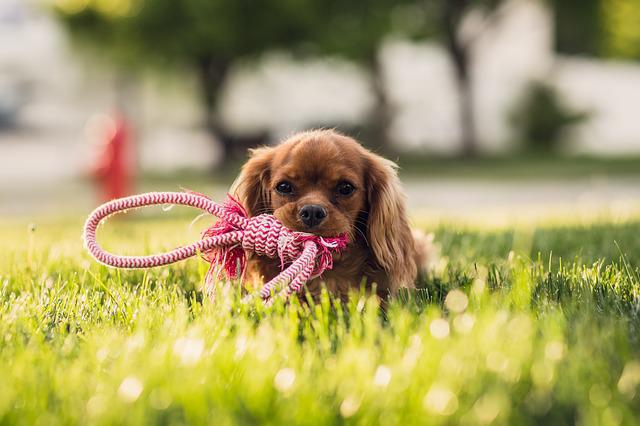 Top Cavalier Canine Adorable Dog - Cute-Lawn-Dog-Animal-Adorable-Canine-Grass-1844928  Graphic_642917  .jpg