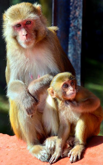 Macaque, Monkey, Primate, Ape, Wildlife, Cute, Wild