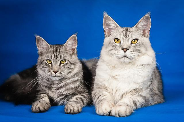 Maine Coon, Kittens, Cute, Pets, Mainkan, Pet, Cat