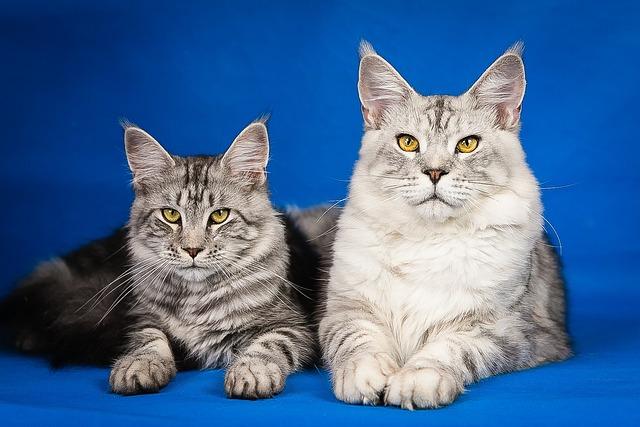 Maine Coon, Kittens, Cute, Pets, Mainkan, Pet, Cat