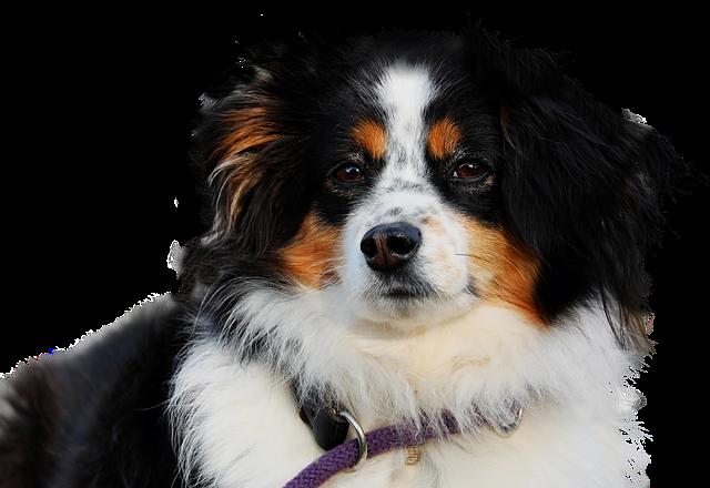 Dog, Isolated, Animal, Mammal, Cute, Purebred Dog