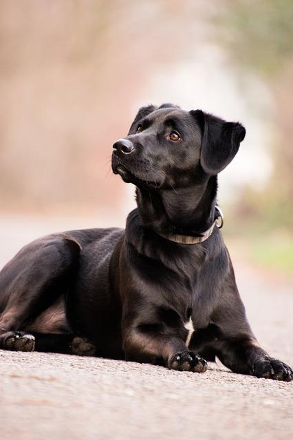 Dog, Mammal, Animal, Cute, Pet, Labrador