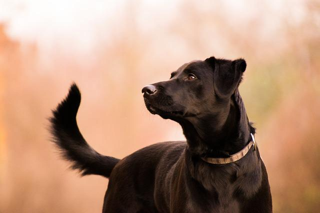 Animal, Cute, Portrait, Mammal, Labrador, Black