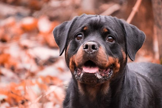 Dog, Portrait, Cute, Mammal, Animal, Rottweiler